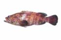 Ikan Kerapu Lumpur