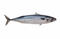Ikan Salem
