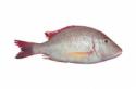 Ikan Lencam
